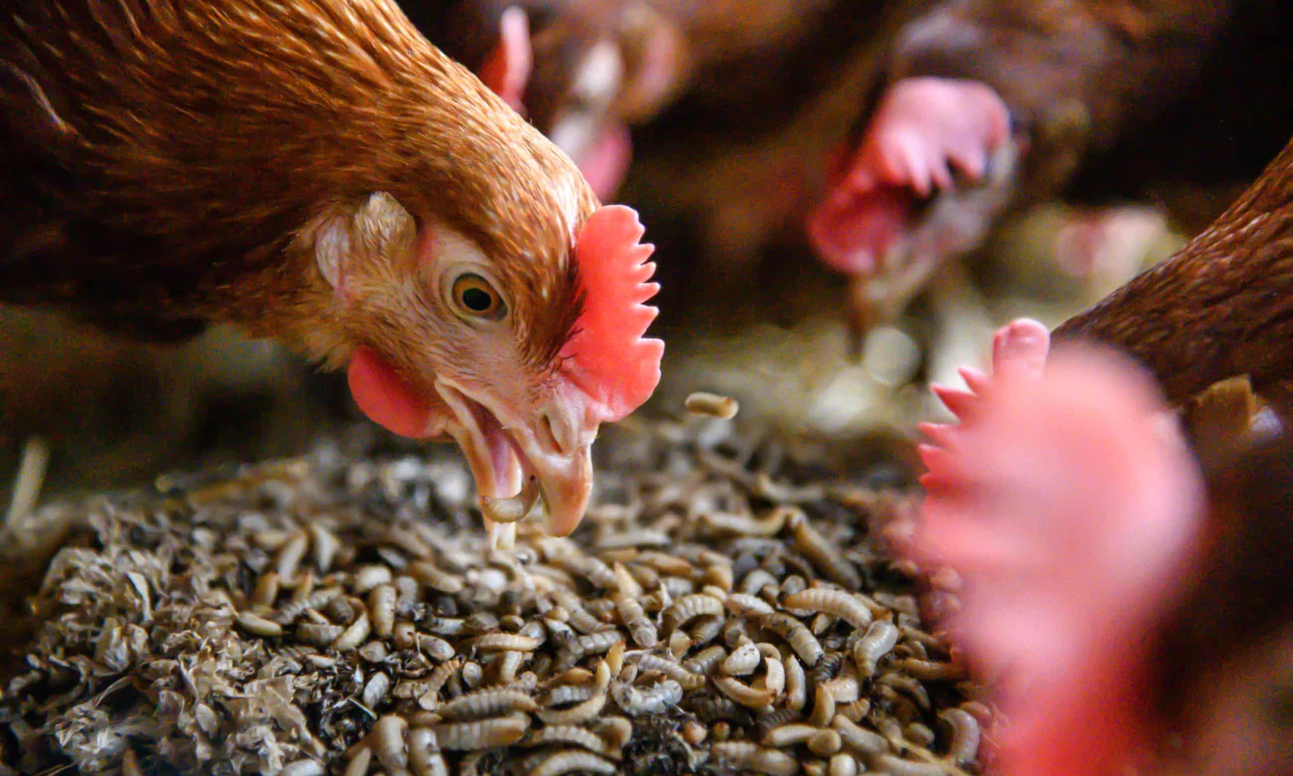 Alimentación de las gallinas.